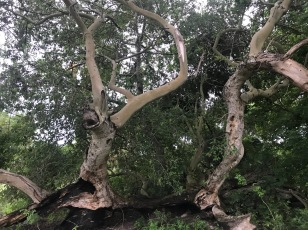 A tree that is regenerating. © Apuk Ayuel Mayen.